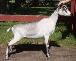 nubian doe for sale